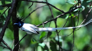 Asian Paradise Flycatcher(Terpsiphone Paradisi) Male 50cm