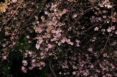 11月6日ダラムサラの桜