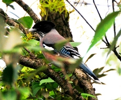 Black-headed Jay 30cm