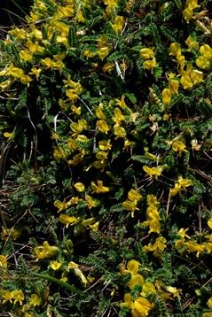 Astragalus candelleanus