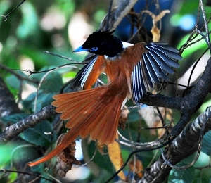 Asian Paradise Flycatcher(Terpsiphone Paradisi) Male 50cm