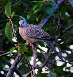 ダラムサラの鳥2