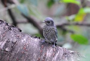 Verditer Flycatcher (Eumyias thalassina) infant15cm