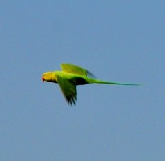 Rose-ringed  parakeet (Female) 42cm