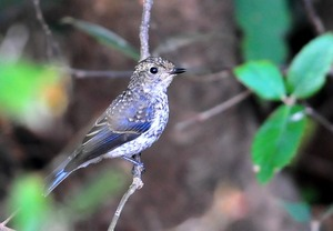 Whitebrowed Blue Flycatcher(Muscapa superciliaris) 10cm