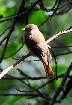 Rusty-tailed Flycacher 12cm