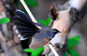 Whitebrowed Fantail Flycatcher (Rhhipidura aureola)17cm