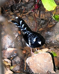 Spotted Forktail 25cm