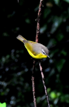 Grey-hooded Warbler 10cm