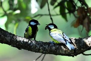 Green Backed Tit(Parus Monticolus) 15cm