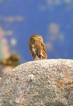Collared Owlet (Collared Pygmy Owl) 16cm
