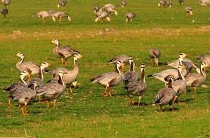 Bar-headed Goose( Anser indicus) 75cm