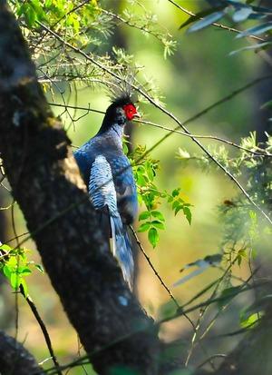 Kalij Pheasant (Lophura leucomelanos) 70cm