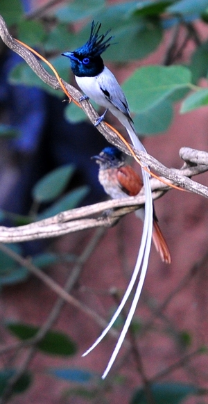 Asian Paradise Flycatcher(Terpsiphone Paradisi)male 5