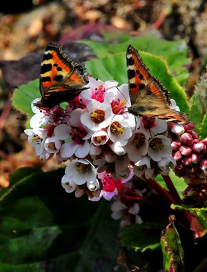 ジヌーの宿の石垣に花と蝶
