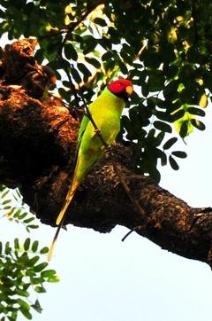 Blossamheaded Parakeet (Female) 36cm