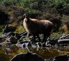 ニャンと呼ばれる野生のヤギ?体長1.8mほど。