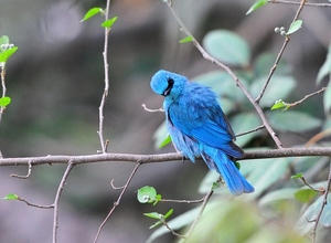 Verditer Flycatcher (Eumyias thalassina) Male 15cm