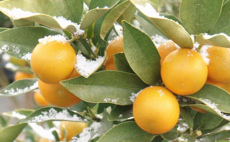 423 橘は 実さへ花さへ その葉さ...