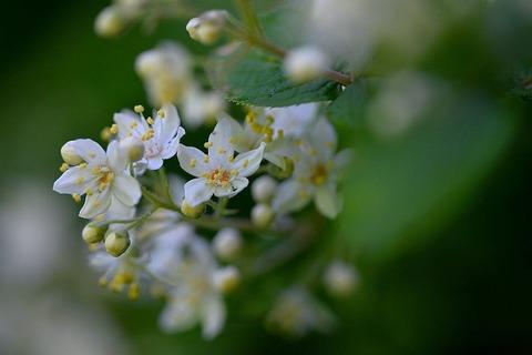 190517_卯の花の咲き散る岳ゆ霍公鳥.jpg