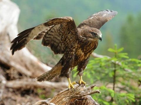 200717_あはせつる木ゐのはし鷹をきとらし.jpg