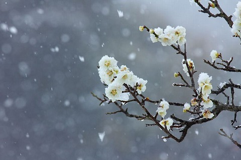 150218_残りたる雪にまじれる梅の花.jpg