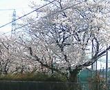 桜が満開です((o(∇^*o)ワクワク(o*^∇)o))