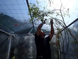 アクアポニクス室内トマト棚