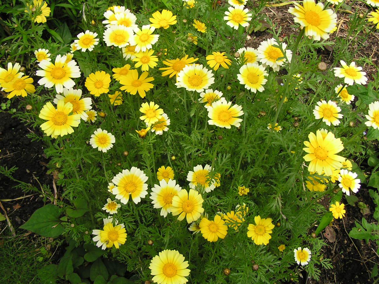 春菊の花 21, 2006 春菊の花 信じられないけど、春菊の花です。 食べそびれた春菊を畑に放