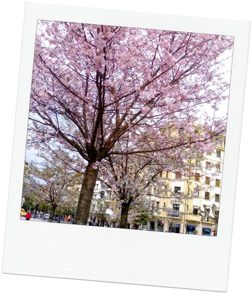 sakura p colon