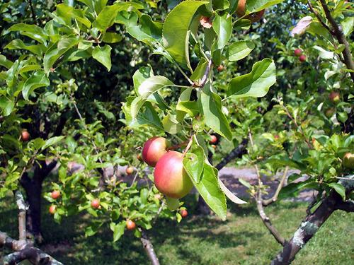 manzana-p