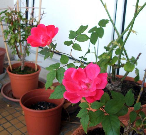 knockout-rose