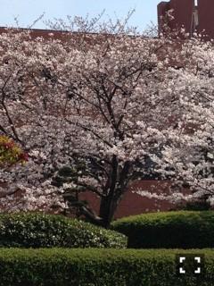 2014年3月28日 福岡の桜