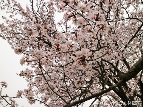 2018/05/04 桜 ④