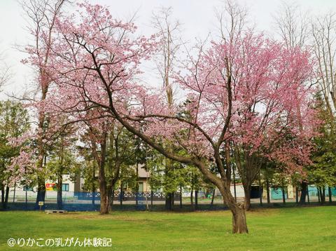 2018/05/04 桜 ②