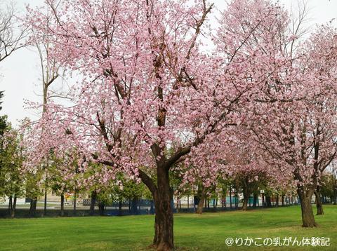2018/05/04 桜 ①