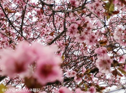 2018/05/04 桜 ③