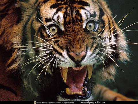 snarling-tiger-512994-sw