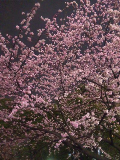 もう桜が咲いてます!