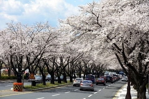 Cherry_Blossom_03