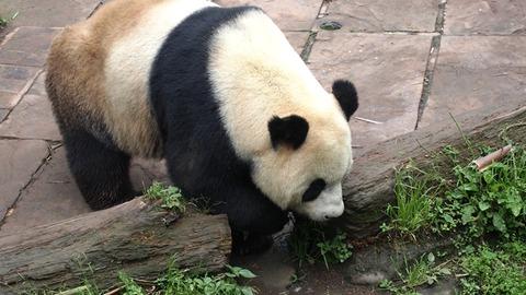 Panda_06