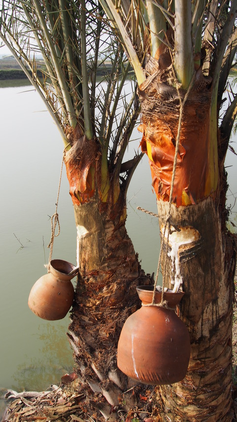 Bangladesh_palm