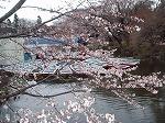 井の頭の桜