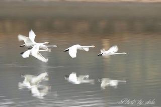 20200129白鳥さん05