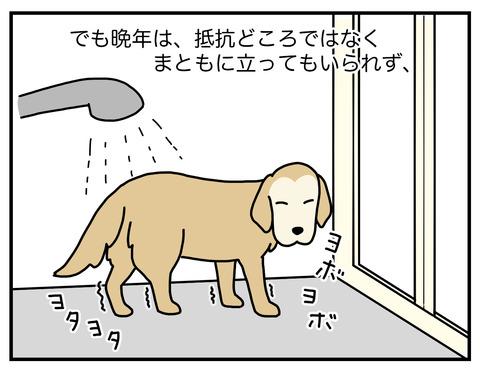 老犬シャンプー03