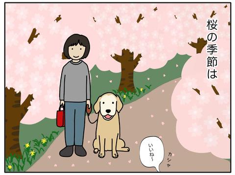桜と老犬01