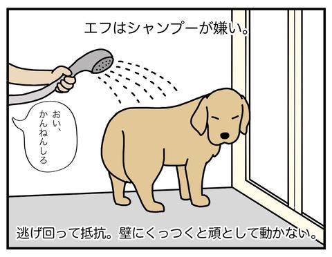 老犬シャンプー01