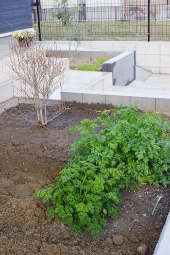 庭に野菜を植える