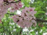 台湾桜2012-3-2