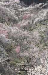 吉野梅郷2011年入賞作品